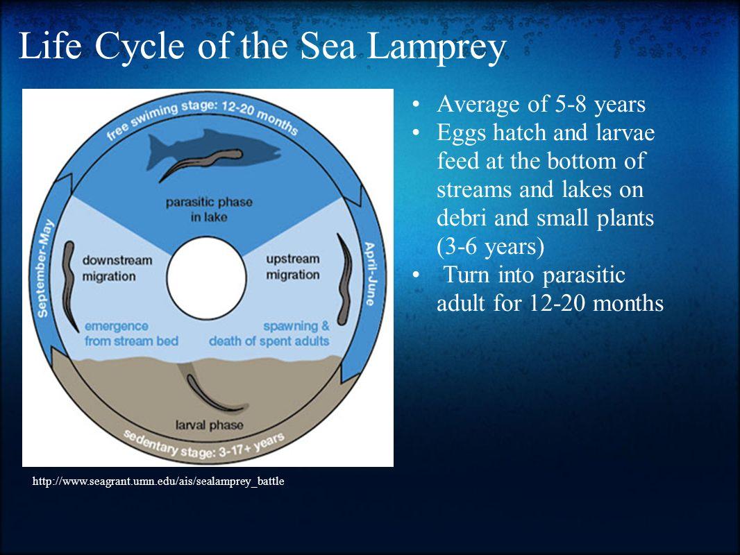 30   Great Sea Lamprey Life for Sea Lamprey Life Cycle  186ref