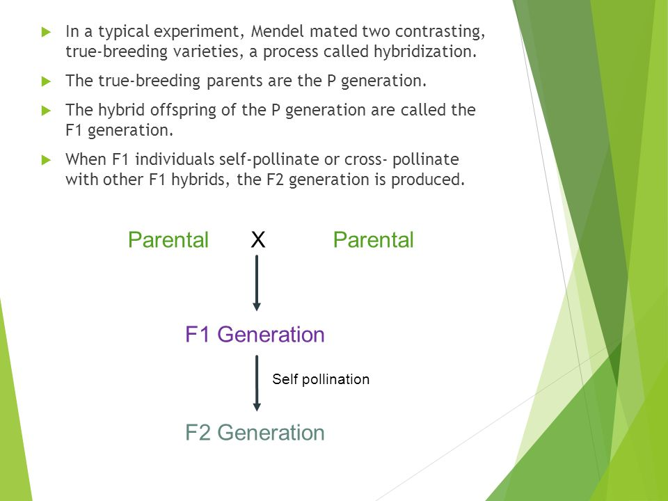 In a typical experiment, Mendel mated two contrasting, true-breeding varieties, a process called hybridization.