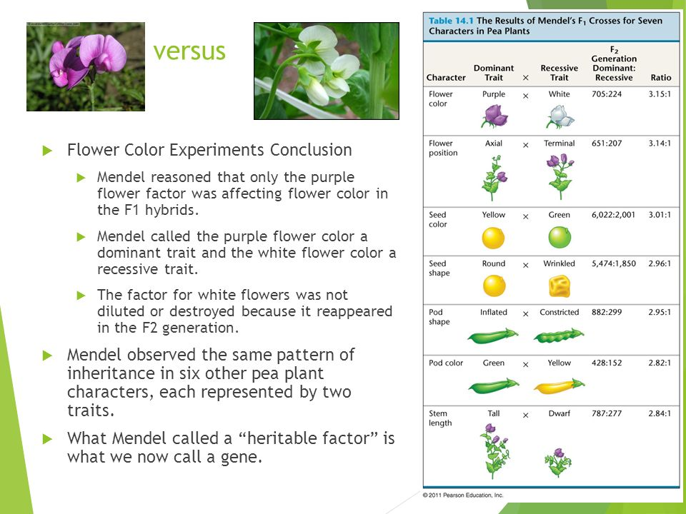 versus  Flower Color Experiments Conclusion  Mendel reasoned that only the purple flower factor was affecting flower color in the F1 hybrids.