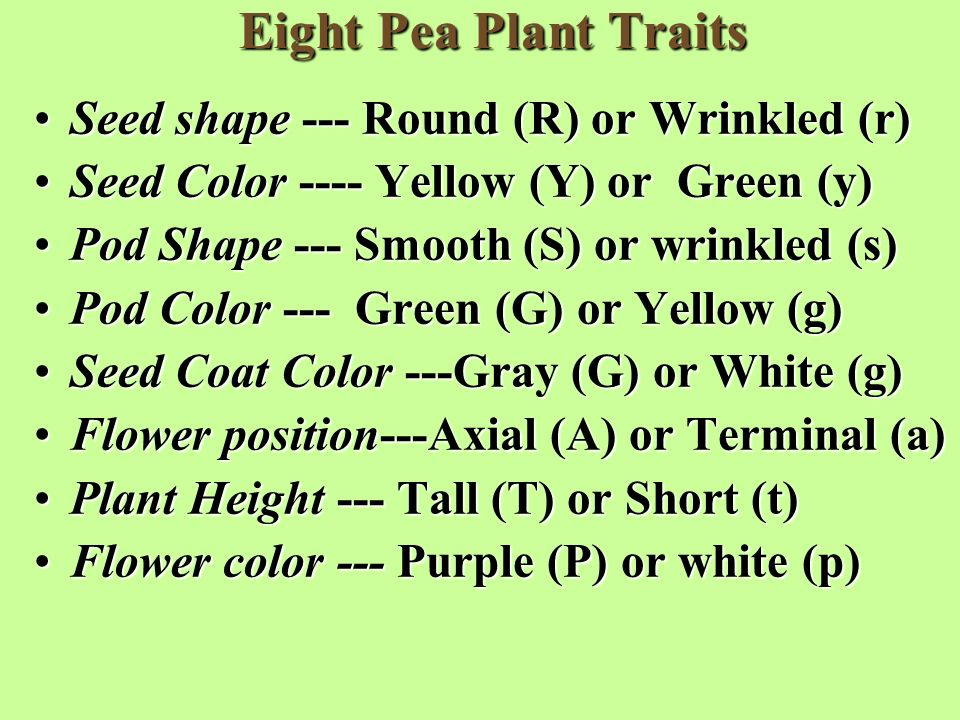 Eight Pea Plant Traits Seed shape --- Round (R) or Wrinkled (r)Seed shape --- Round (R) or Wrinkled (r) Seed Color ---- Yellow (Y) or Green (y)Seed Color ---- Yellow (Y) or Green (y) Pod Shape --- Smooth (S) or wrinkled (s)Pod Shape --- Smooth (S) or wrinkled (s) Pod Color --- Green (G) or Yellow (g)Pod Color --- Green (G) or Yellow (g) Seed Coat Color ---Gray (G) or White (g)Seed Coat Color ---Gray (G) or White (g) Flower position---Axial (A) or Terminal (a)Flower position---Axial (A) or Terminal (a) Plant Height --- Tall (T) or Short (t)Plant Height --- Tall (T) or Short (t) Flower color --- Purple (P) or white (p)Flower color --- Purple (P) or white (p)
