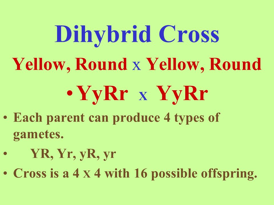 Dihybrid Cross Yellow, Round x Yellow, Round YyRr X YyRr Each parent can produce 4 types of gametes.