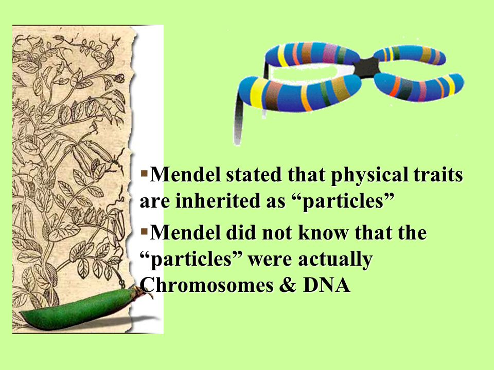  Mendel stated that physical traits are inherited as particles  Mendel did not know that the particles were actually Chromosomes & DNA