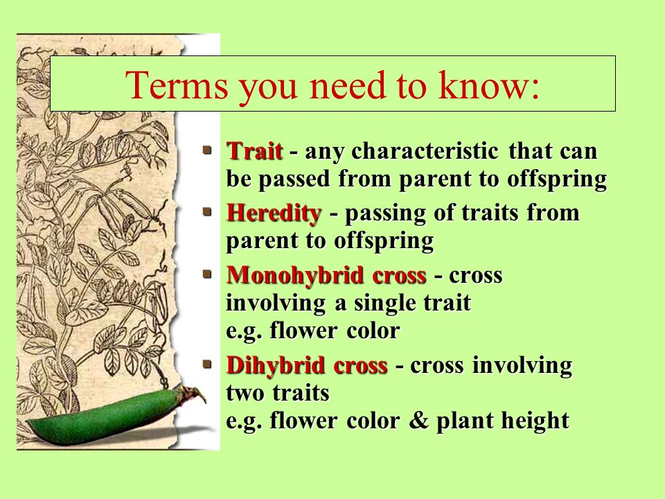 Terms you need to know:  Trait - any characteristic that can be passed from parent to offspring  Heredity - passing of traits from parent to offspring  Monohybrid cross - cross involving a single trait e.g.