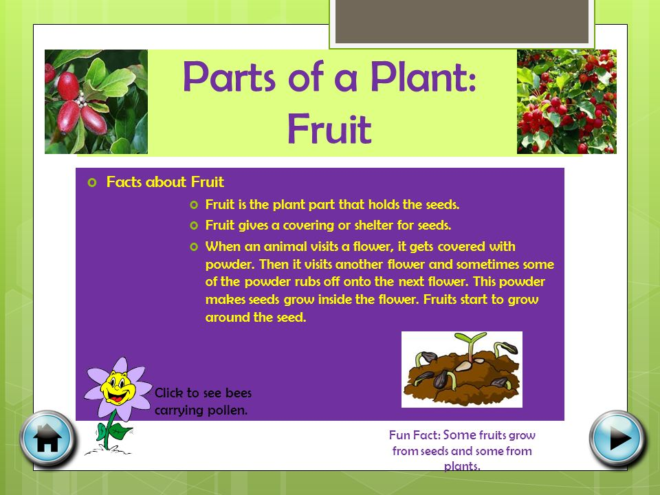 Parts of a Plant: Fruit  Facts about Fruit  Fruit is the plant part that holds the seeds.