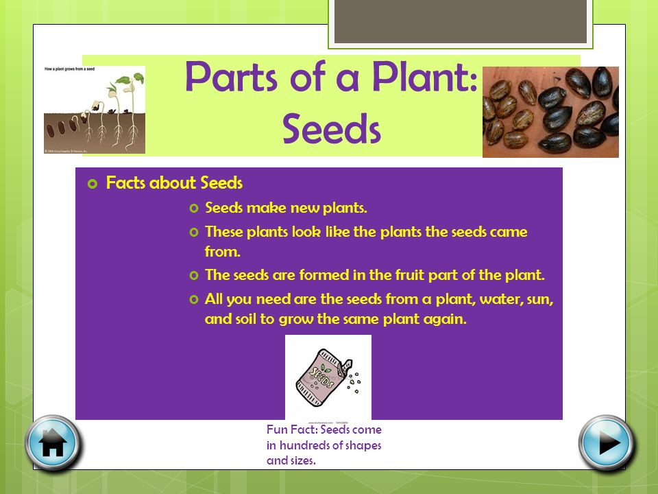 Parts of a Plant: Seeds  Facts about Seeds  Seeds make new plants.