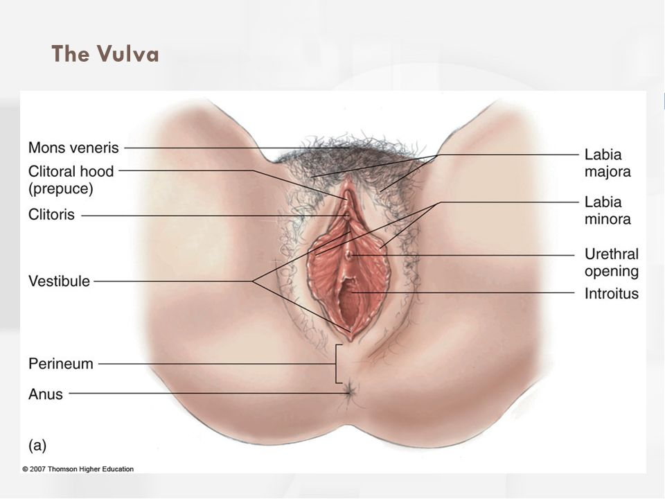 The Clitoris  Analogous to penis  Only function = sexual arousal  Clitoral stimulation most common way women achieve orgasm  Consider female genital mutilation