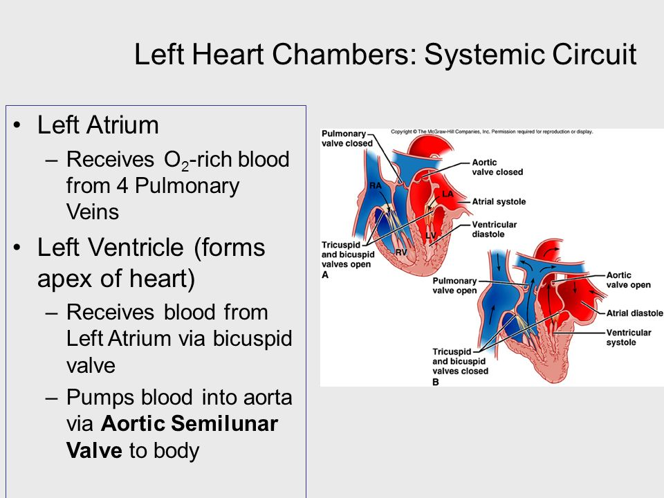 Left Heart Chambers: Systemic Circuit Left Atrium –Receives O 2 -rich blood from 4 Pulmonary Veins Left Ventricle (forms apex of heart) –Receives blood from Left Atrium via bicuspid valve –Pumps blood into aorta via Aortic Semilunar Valve to body