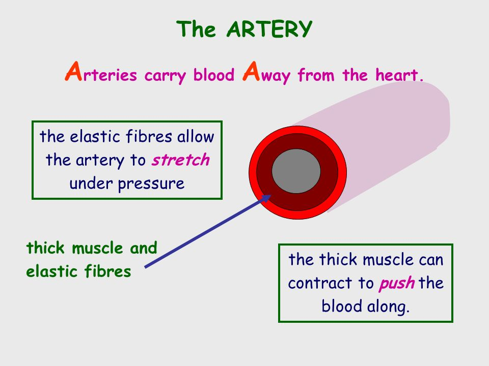 The ARTERY thick muscle and elastic fibres A rteries carry blood A way from the heart.