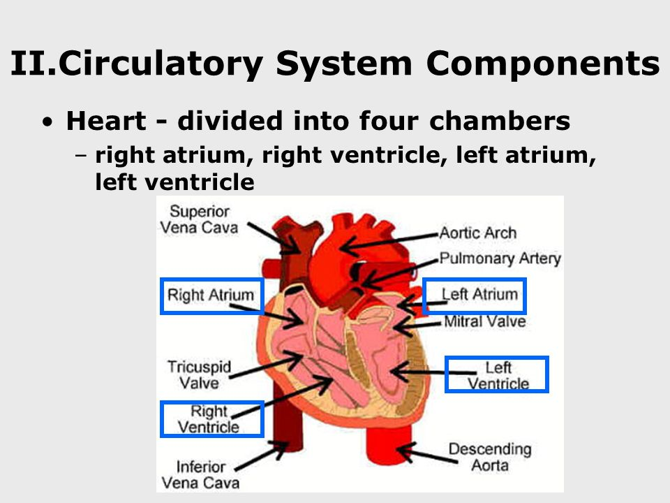 II.Circulatory System Components Heart - divided into four chambers –right atrium, right ventricle, left atrium, left ventricle