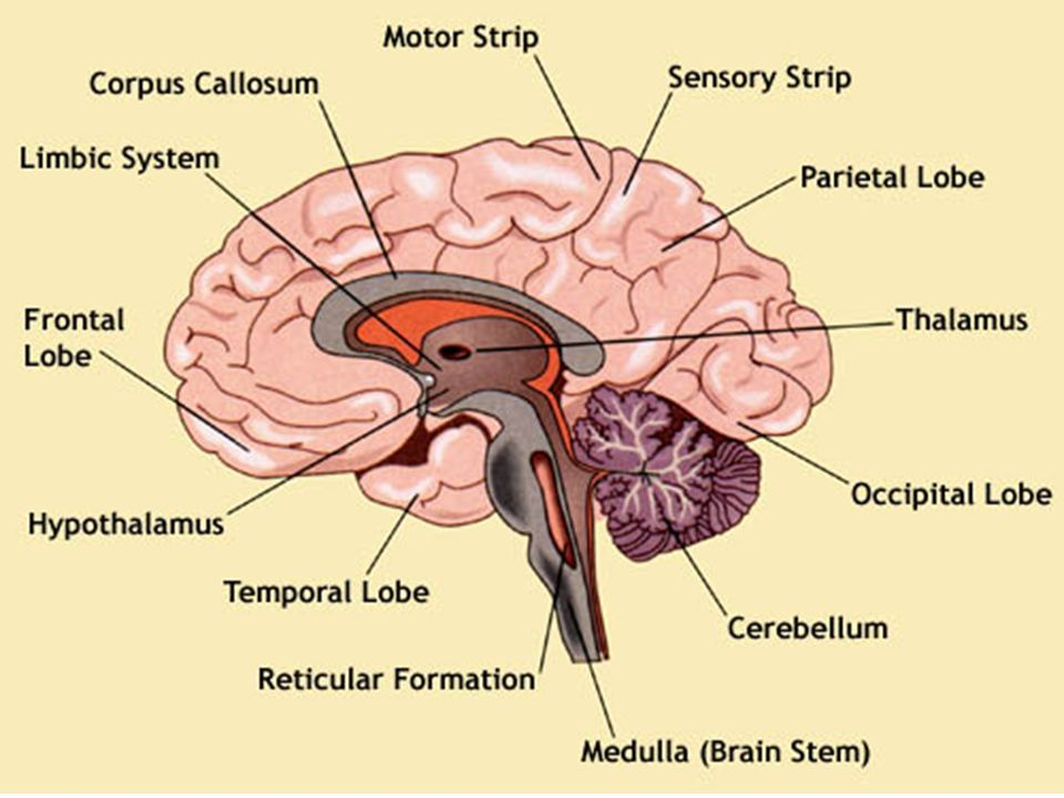 Physiology ppt video online download 11 ccuart Image collections