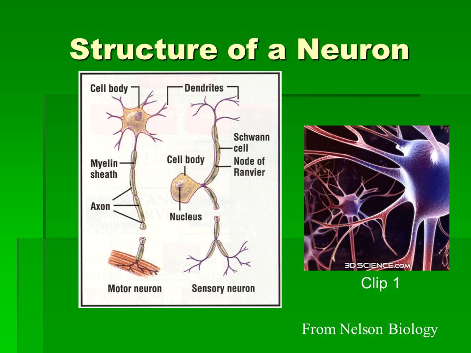Structure of a Neuron From Nelson Biology Clip 1