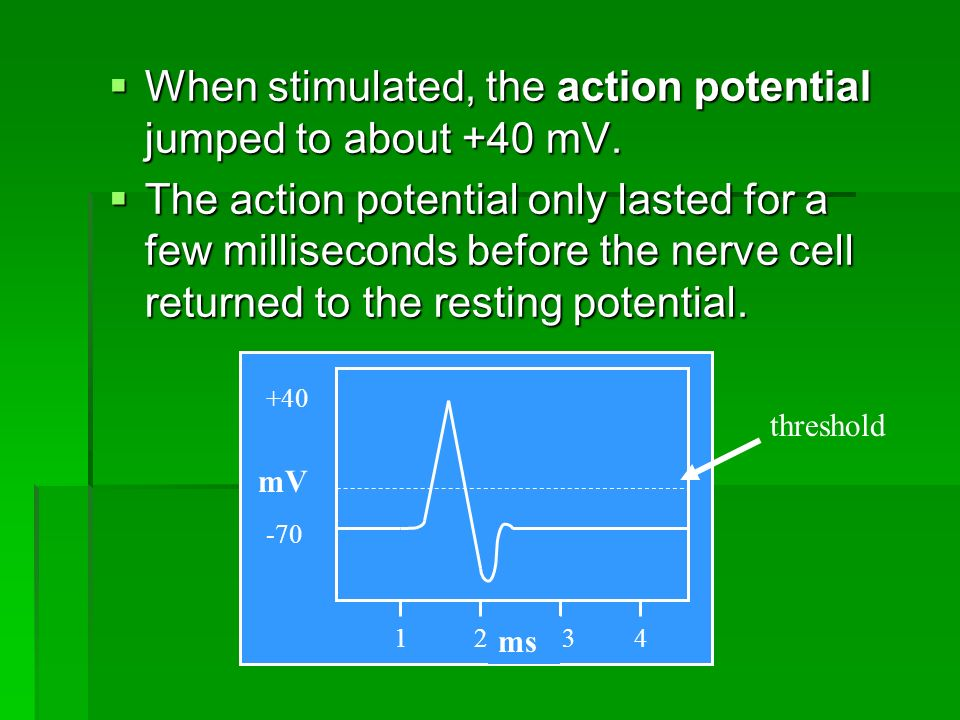  When stimulated, the action potential jumped to about +40 mV.