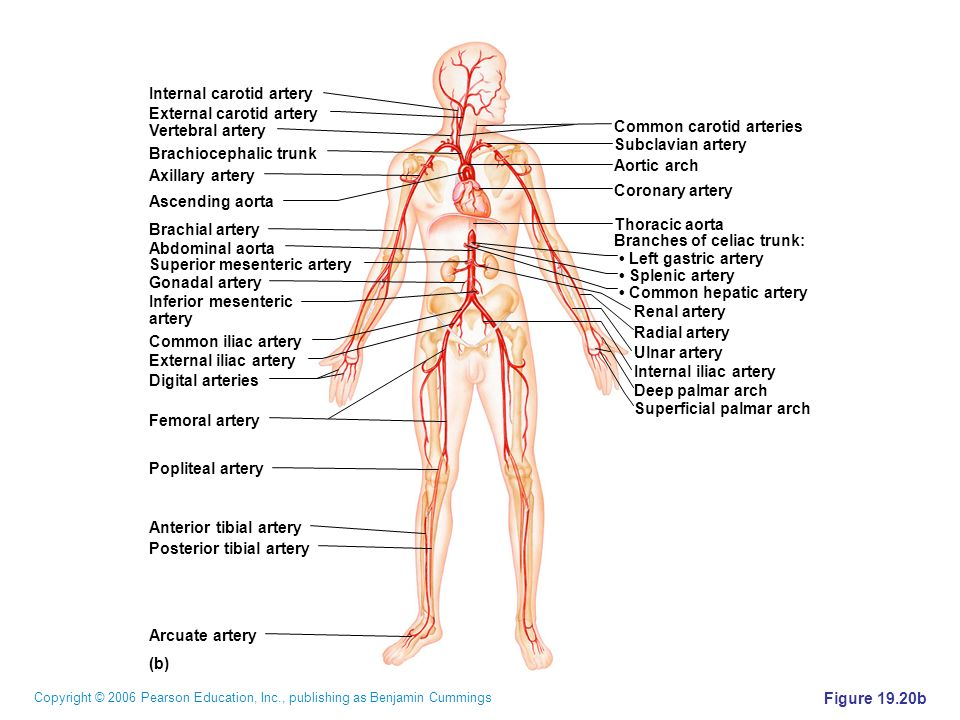 Copyright © 2006 Pearson Education, Inc., publishing as Benjamin Cummings Figure 19.20b (b) Common carotid arteries Subclavian artery Aortic arch Coro