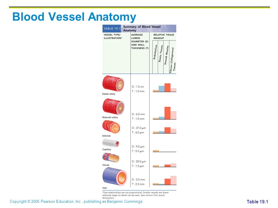 Copyright © 2006 Pearson Education, Inc., publishing as Benjamin Cummings Blood Vessel Anatomy Table 19.1