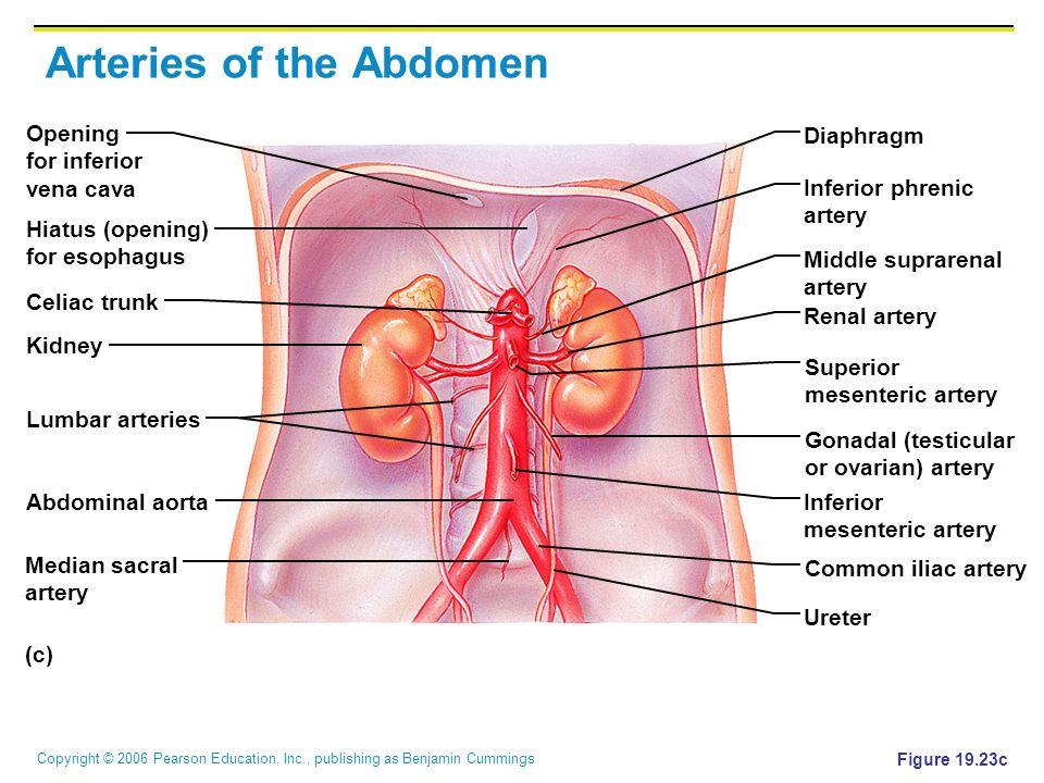 Copyright © 2006 Pearson Education, Inc., publishing as Benjamin Cummings Arteries of the Abdomen Figure 19.23c (c) Opening for inferior vena cava Dia
