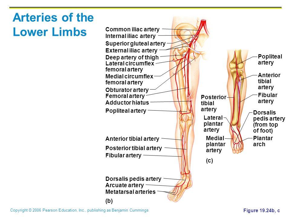 Copyright © 2006 Pearson Education, Inc., publishing as Benjamin Cummings Arteries of the Lower Limbs Figure 19.24b, c (b) (c) Common iliac artery Dee