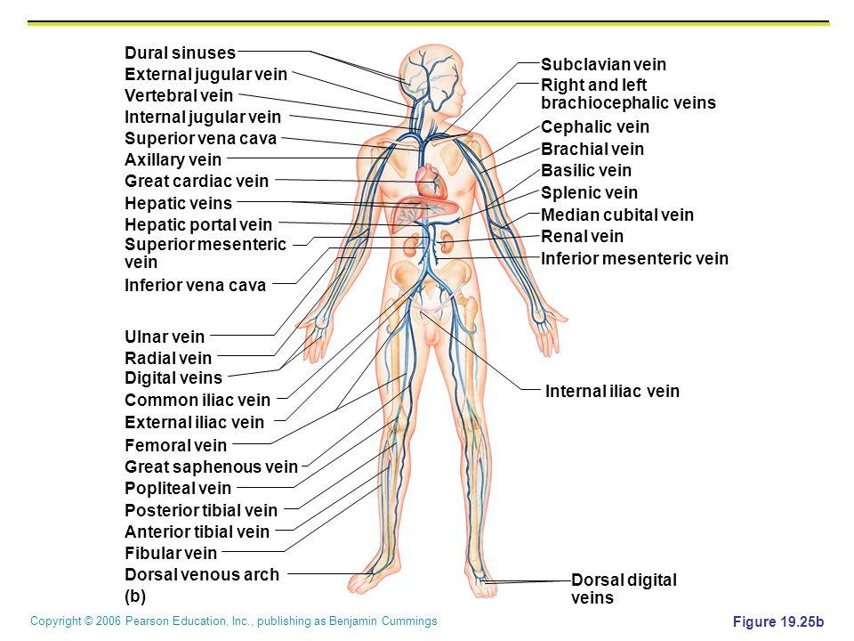 Copyright © 2006 Pearson Education, Inc., publishing as Benjamin Cummings Figure 19.25b Renal vein Splenic vein Basilic vein Brachial vein Cephalic ve