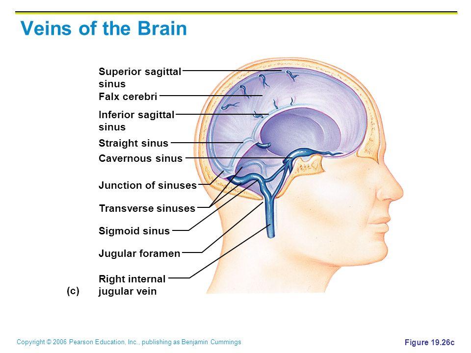 Copyright © 2006 Pearson Education, Inc., publishing as Benjamin Cummings Veins of the Brain Figure 19.26c (c) Superior sagittal sinus Falx cerebri In