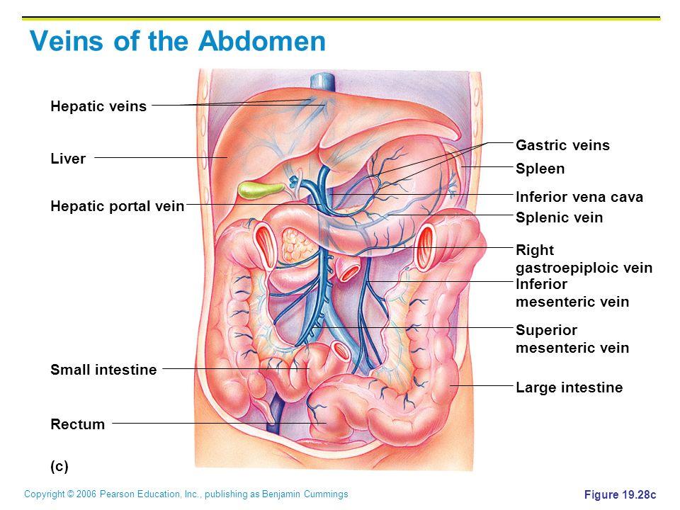Copyright © 2006 Pearson Education, Inc., publishing as Benjamin Cummings Veins of the Abdomen Figure 19.28c (c) Hepatic veins Liver Spleen Gastric ve