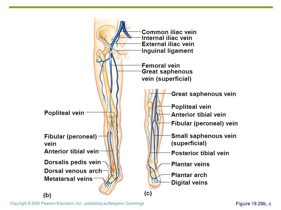 Copyright © 2006 Pearson Education, Inc., publishing as Benjamin Cummings Figure 19.29b, c (c) Popliteal vein Common iliac vein Fibular (peroneal) vei