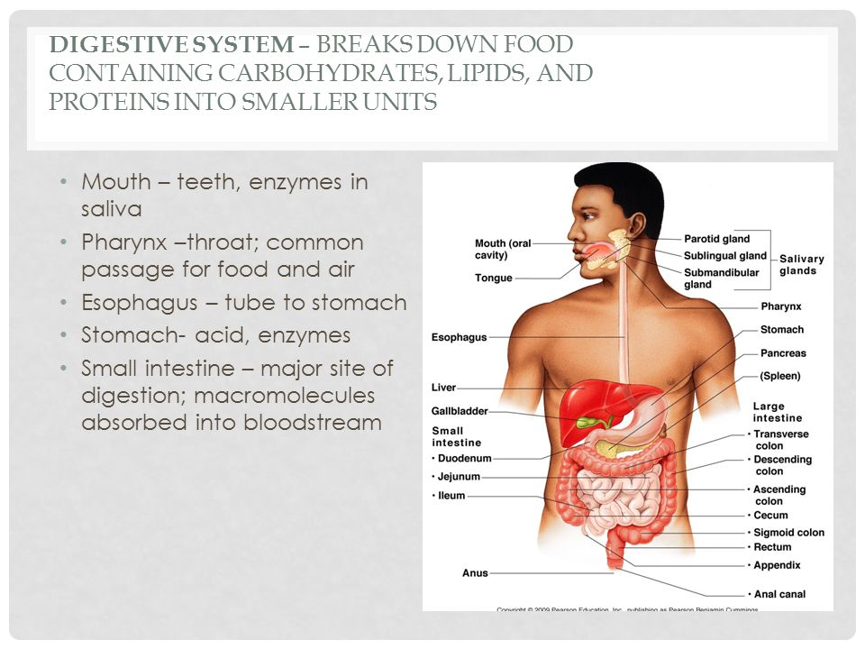 DIGESTIVE SYSTEM – BREAKS DOWN FOOD CONTAINING CARBOHYDRATES, LIPIDS, AND PROTEINS INTO SMALLER UNITS Mouth – teeth, enzymes in saliva Pharynx –throat; common passage for food and air Esophagus – tube to stomach Stomach- acid, enzymes Small intestine – major site of digestion; macromolecules absorbed into bloodstream