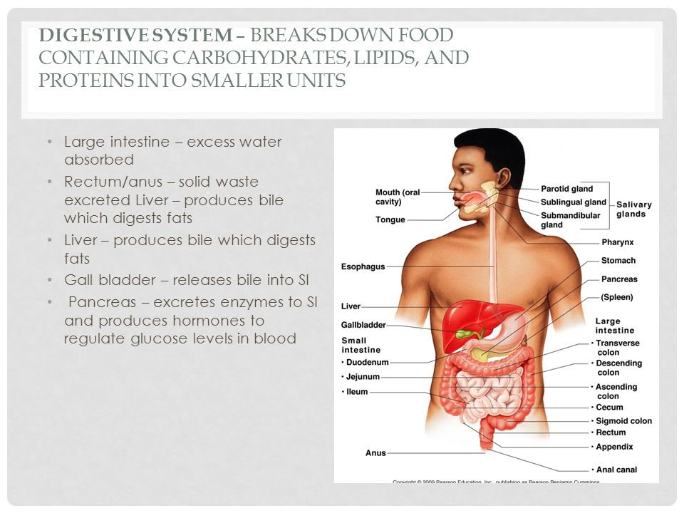 DIGESTIVE SYSTEM – BREAKS DOWN FOOD CONTAINING CARBOHYDRATES, LIPIDS, AND PROTEINS INTO SMALLER UNITS Large intestine – excess water absorbed Rectum/anus – solid waste excreted Liver – produces bile which digests fats Liver – produces bile which digests fats Gall bladder – releases bile into SI Pancreas – excretes enzymes to SI and produces hormones to regulate glucose levels in blood