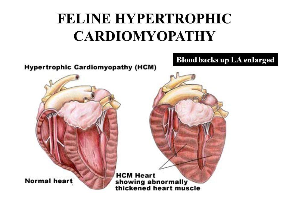 Dorable Feline Heart Anatomy Pictures - Anatomy Ideas - yunoki.info