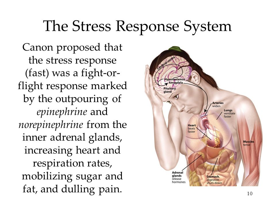 10 The Stress Response System Canon proposed that the stress response (fast) was a fight-or- flight response marked by the outpouring of epinephrine and norepinephrine from the inner adrenal glands, increasing heart and respiration rates, mobilizing sugar and fat, and dulling pain.