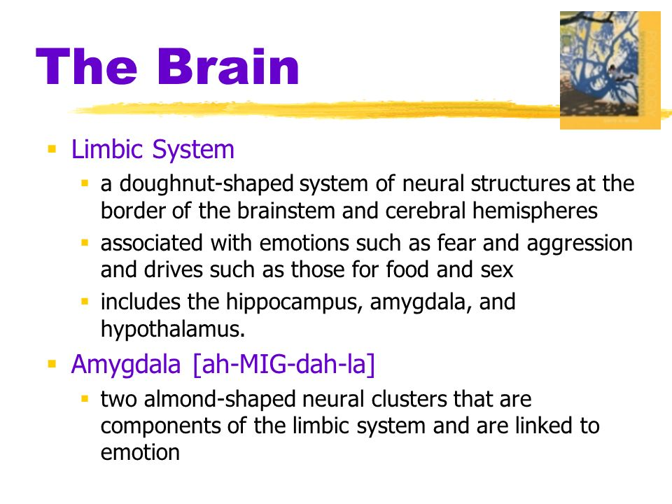 The Brain  Limbic System  a doughnut-shaped system of neural structures at the border of the brainstem and cerebral hemispheres  associated with emotions such as fear and aggression and drives such as those for food and sex  includes the hippocampus, amygdala, and hypothalamus.