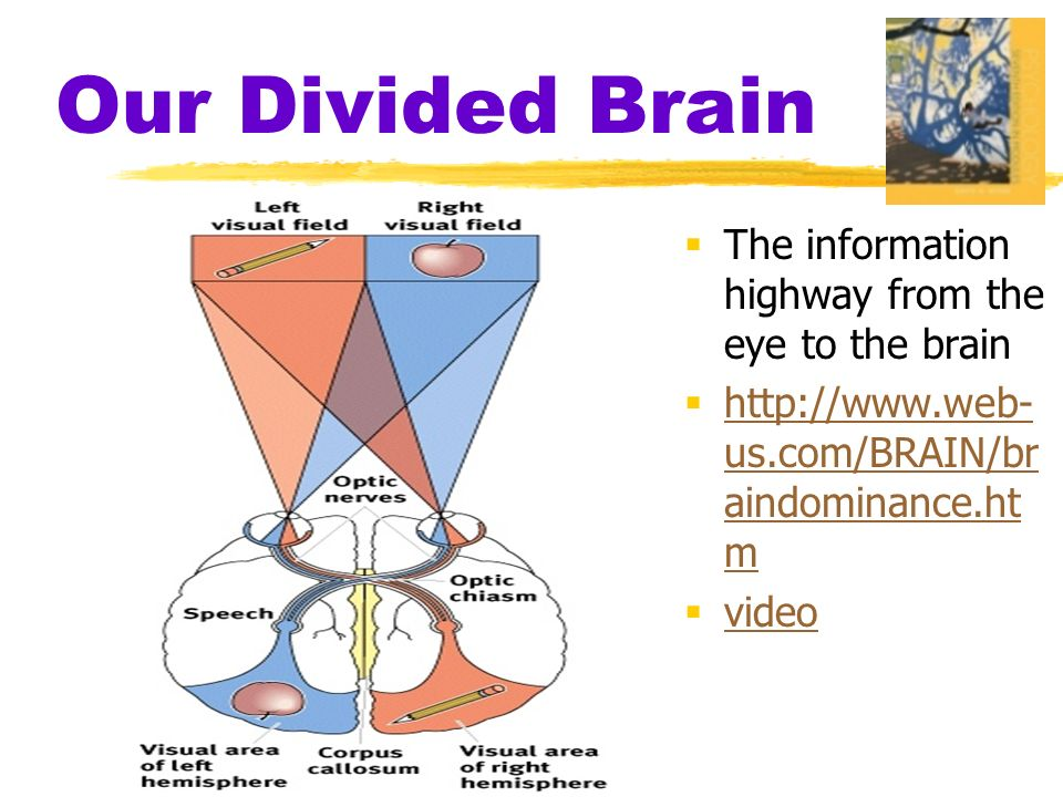 Our Divided Brain  The information highway from the eye to the brain    us.com/BRAIN/br aindominance.ht m   us.com/BRAIN/br aindominance.ht m  video video