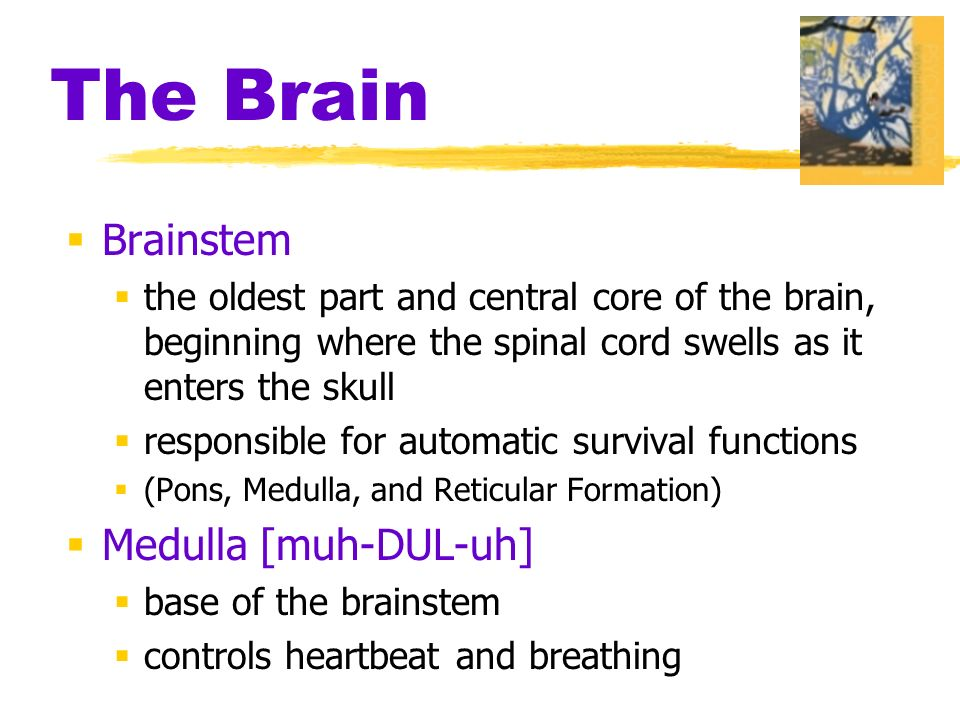The Brain  Brainstem  the oldest part and central core of the brain, beginning where the spinal cord swells as it enters the skull  responsible for automatic survival functions  (Pons, Medulla, and Reticular Formation)  Medulla [muh-DUL-uh]  base of the brainstem  controls heartbeat and breathing