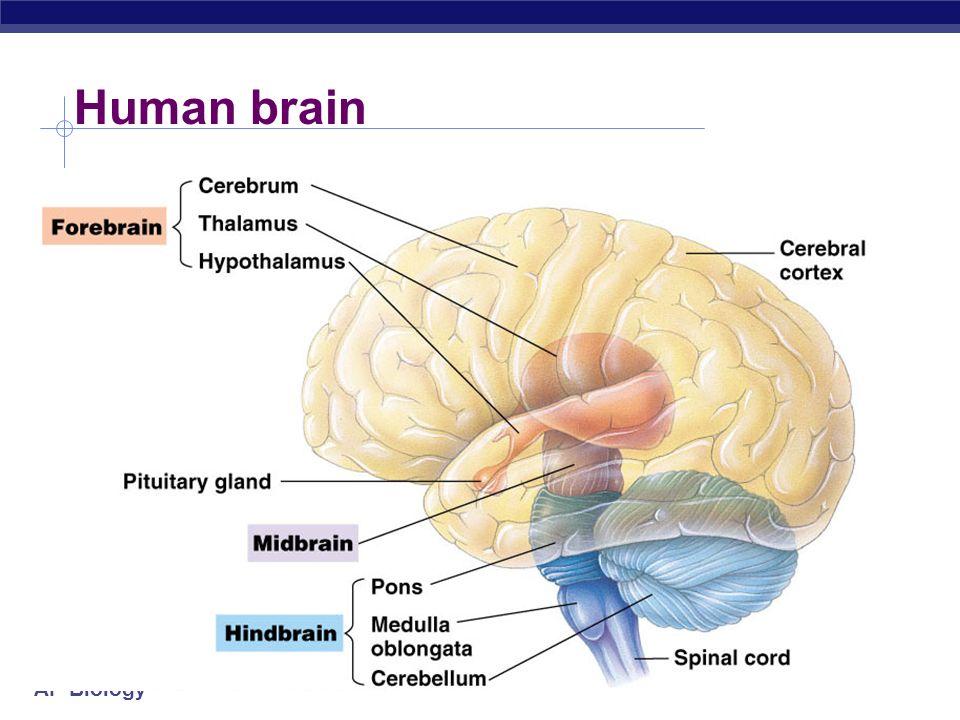 Ap biology nervous systems brain development ppt download 7 ap biology evolution of vertebrate brain shark ccuart Gallery