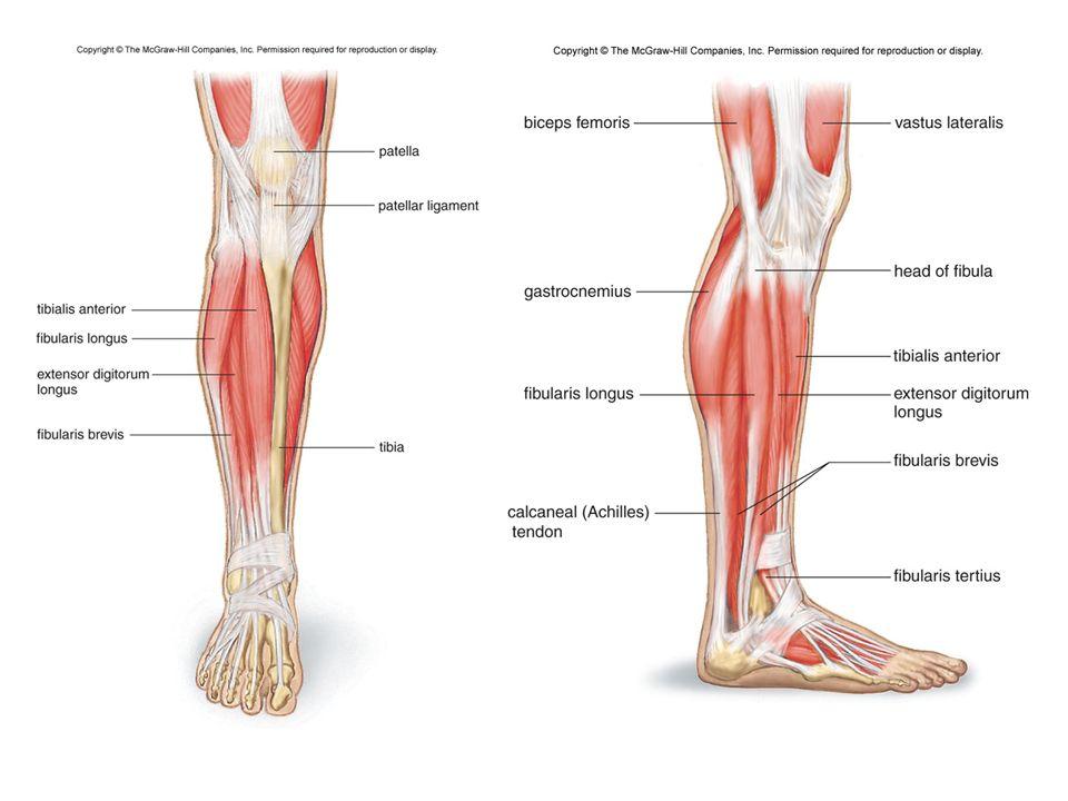 Lower limb anatomy muscles