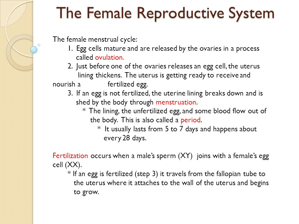 The Female Reproductive System The female menstrual cycle: 1. Egg cells mature and are released by the ovaries in a process called ovulation. 2. Just