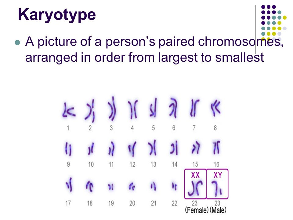 A picture of a person's paired chromosomes, arranged in order from largest to smallest Karyotype