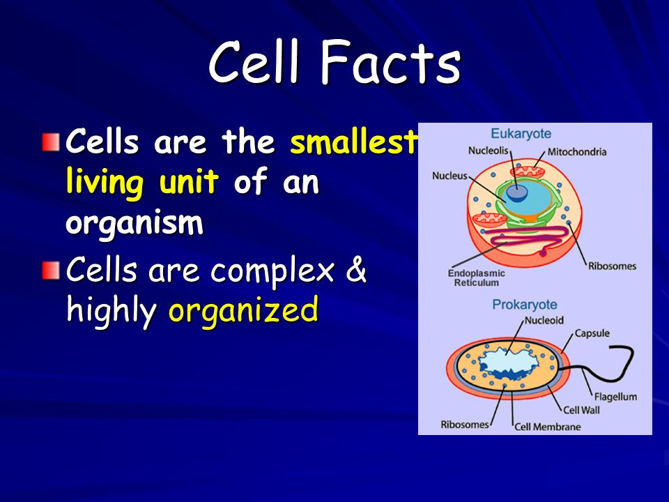 Cell Facts Cells are the smallest living unit of an organism Cells are complex & highly organized
