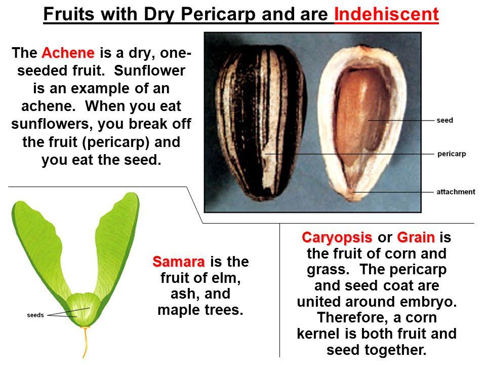 Caryopsis fruit