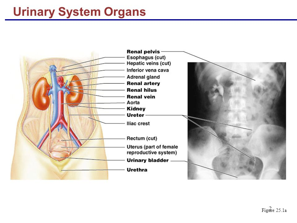 renal system study guide