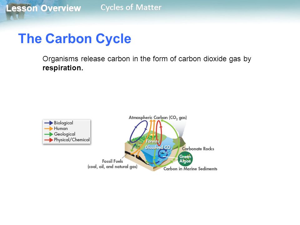 Lesson Overview Lesson Overview Cycles of Matter The Carbon Cycle Organisms release carbon in the form of carbon dioxide gas by respiration.