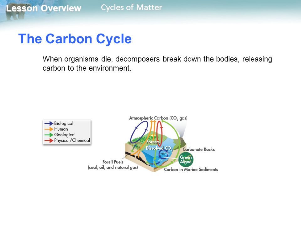 Lesson Overview Lesson Overview Cycles of Matter The Carbon Cycle When organisms die, decomposers break down the bodies, releasing carbon to the environment.