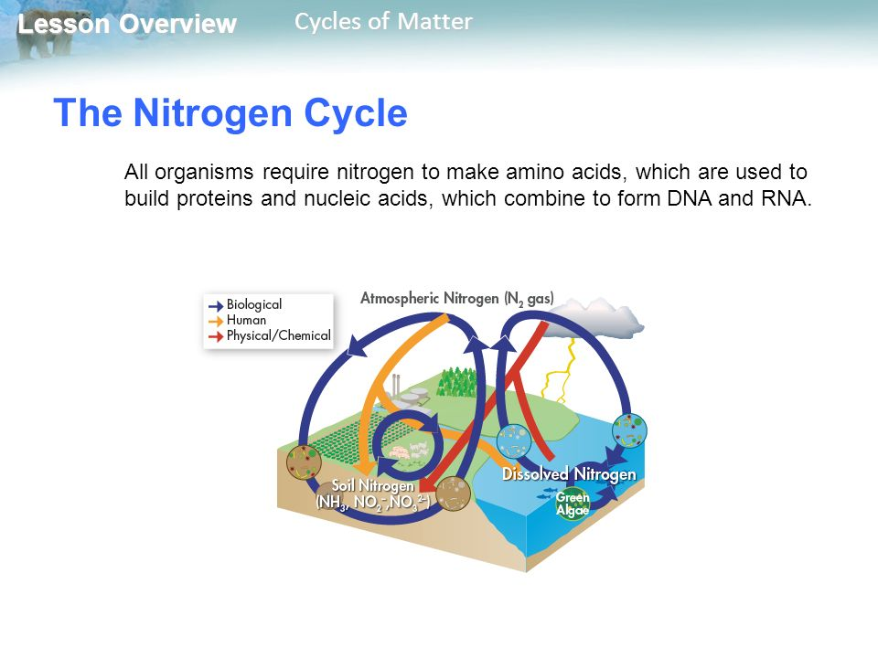 Lesson Overview Lesson Overview Cycles of Matter The Nitrogen Cycle All organisms require nitrogen to make amino acids, which are used to build proteins and nucleic acids, which combine to form DNA and RNA.