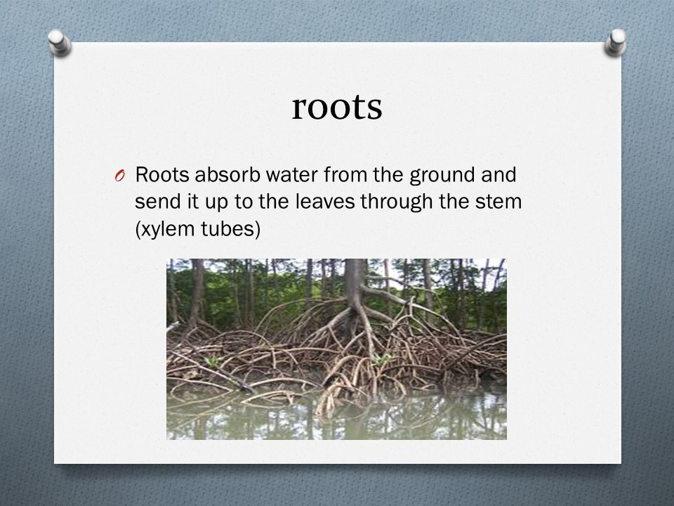 roots O Roots absorb water from the ground and send it up to the leaves through the stem (xylem tubes)