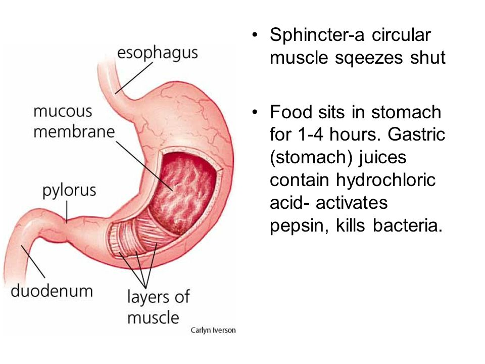 Sphincter-a circular muscle sqeezes shut Food sits in stomach for 1-4 hours.