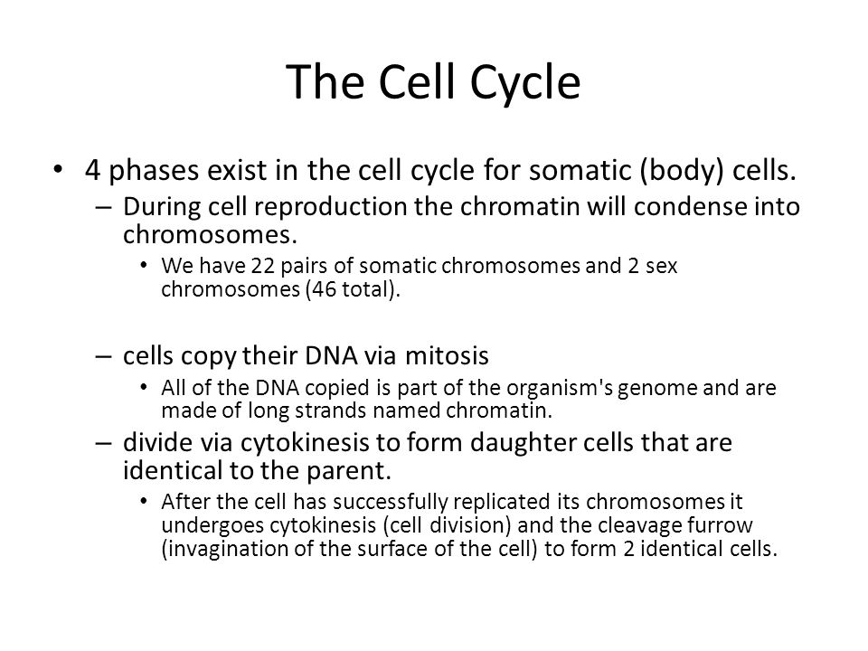 The Cell Cycle 4 phases exist in the cell cycle for somatic (body ...