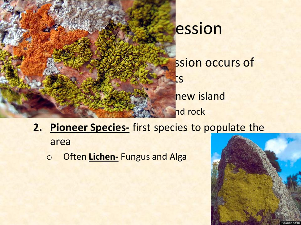 Primary Succession  Primary Succession- Succession occurs of surfaces where no soil exists 1.Volcanic eruption builds a new island o Start with no soil, just ash and rock 2.Pioneer Species- first species to populate the area o Often Lichen- Fungus and Alga