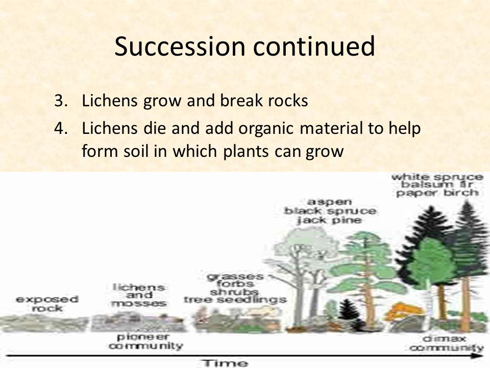 Succession continued 3.Lichens grow and break rocks 4.Lichens die and add organic material to help form soil in which plants can grow