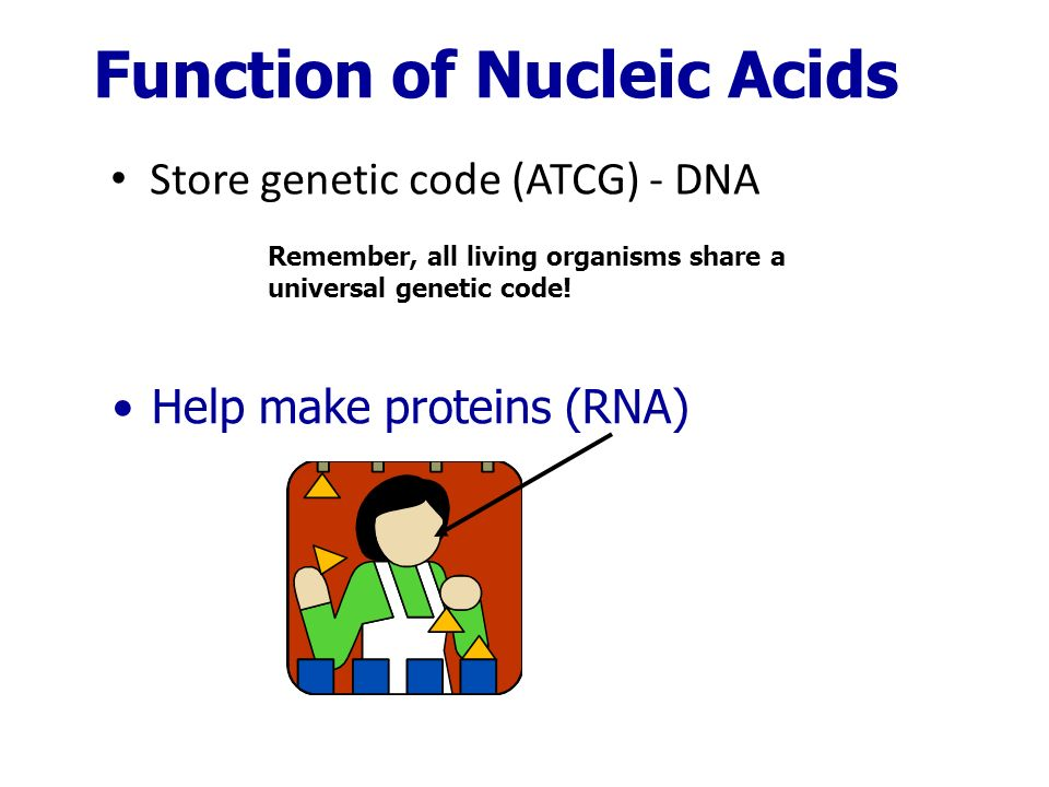 Store genetic code (ATCG) - DNA Function of Nucleic Acids Help make proteins (RNA) Remember, all living organisms share a universal genetic code!