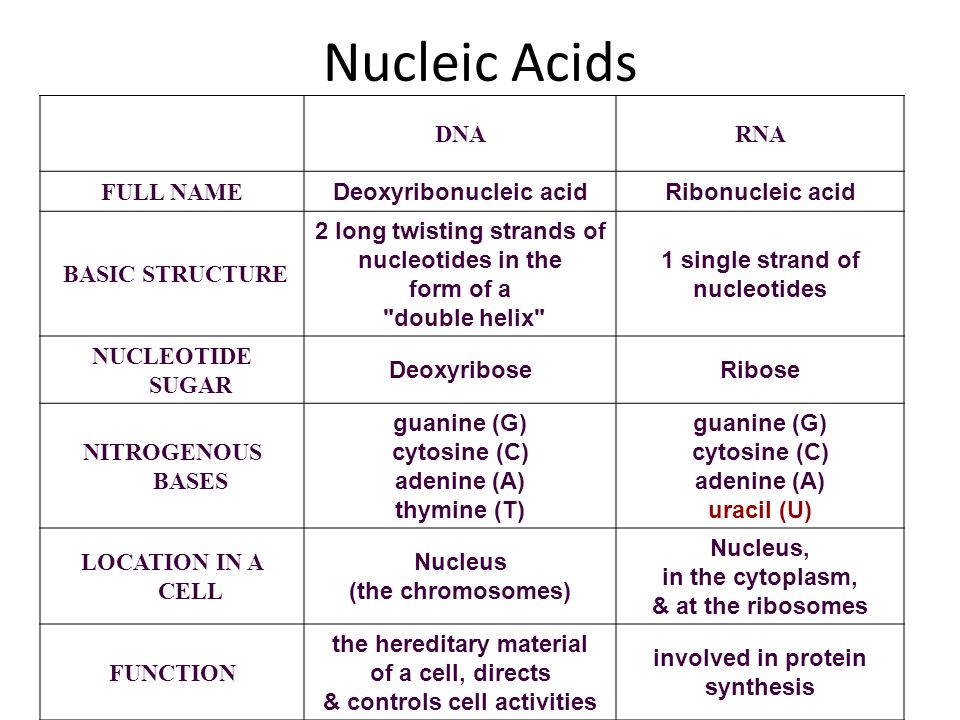 Nucleic Acids DNARNA FULL NAME Deoxyribonucleic acidRibonucleic acid BASIC STRUCTURE 2 long twisting strands of nucleotides in the form of a double helix 1 single strand of nucleotides NUCLEOTIDE SUGAR DeoxyriboseRibose NITROGENOUS BASES guanine (G) cytosine (C) adenine (A) thymine (T) guanine (G) cytosine (C) adenine (A) uracil (U) LOCATION IN A CELL Nucleus (the chromosomes) Nucleus, in the cytoplasm, & at the ribosomes FUNCTION the hereditary material of a cell, directs & controls cell activities involved in protein synthesis