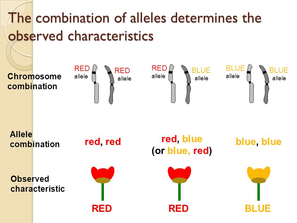 The combination of alleles determines the observed characteristics RED allele Chromosome combination Allele combination Observed characteristic RED allele RED allele BLUE allele BLUE allele BLUE allele red, red red, blue (or blue, red) blue, blue RED BLUE