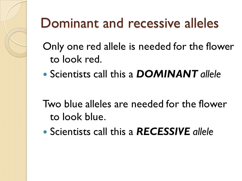 Dominant and recessive alleles Only one red allele is needed for the flower to look red.